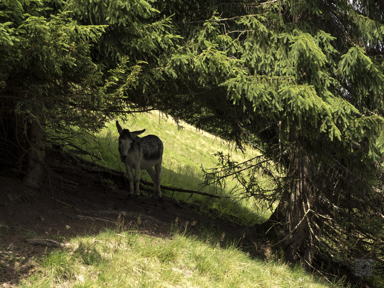 Esel im Schatten