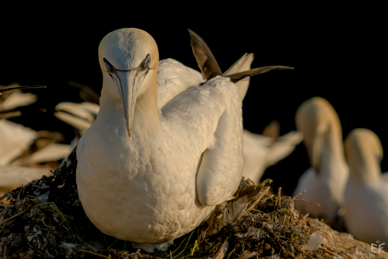 Tag2 Basstölpel auf dem Nest