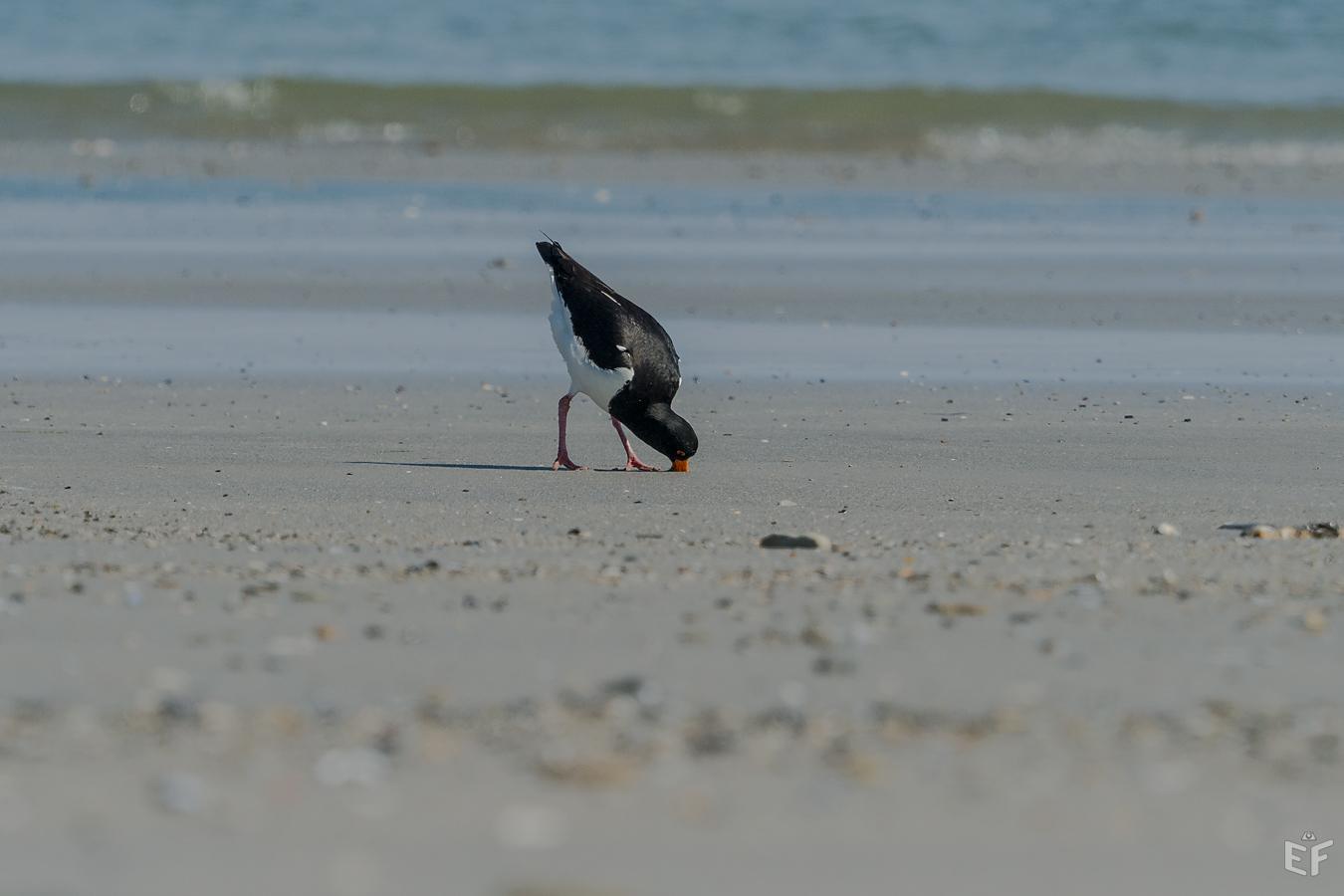 Tag2 Austernfischer Köpchen in den Sand und Schwänzchen in die Höh